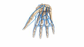 Palm Bones with veins. The proximal row consists of the scaphoid, lunate, triquetrum and pisiform. These bones are closely approximated to the distal radius stock footage