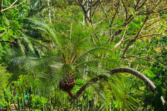 Palm in botanical garden Royalty Free Stock Images