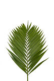 Palm Branch. A photo of a palm frond isolated on a white background Stock Photography