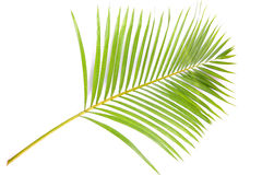 Palm branch. Isolated on white background Royalty Free Stock Photos