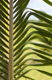 Palm Branch Royalty Free Stock Images