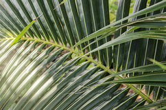 Palm branch background Royalty Free Stock Images