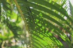 Palm branch with green leaves royalty free stock image