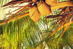 Palm branch. Some yellow coconuts hanging on a palm branch under the bright sun Stock Image