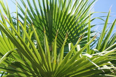 Palm branch1. Palm branch in the sun Stock Images