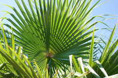 Palm branch2. Palm branch in the sun Stock Image