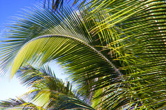 Palm Branches. An abstract color image of green palm branches during the daytime in Hawaii Stock Photo