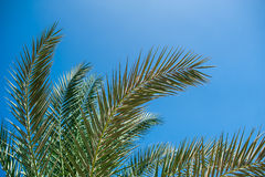 Palm branches against the blue sky Stock Images