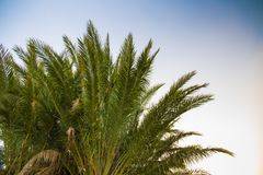 Palm tree and blue sky. Palm branches against the blue sky in the evening Stock Photography