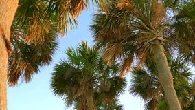 Coconut palm trees, beautiful tropical background. Palm branches with leaves crumpled in the wind, slow motion, tilt down. Palm trees blowing in the wind. Tops stock video
