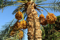 Palm with bright orange fruits Stock Images