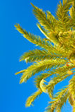 Palm brunch with sky Royalty Free Stock Image