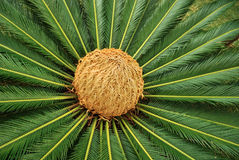Palm bud Stock Images