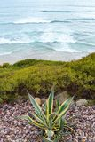 Palm Cactus  Above The Waves Royalty Free Stock Image