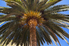 Palm in Canary islands - Spain Royalty Free Stock Photography