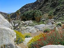 Palm Canyon, wildflowers. Palm Canyon with wildflowers, Anza-Borrego State Park, San Diego County, California Stock Photo