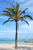 Palm in Capitol of Majorca royalty free stock photo