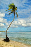 Caribbean Palm Tree on Beach Royalty Free Stock Image