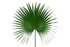 Palm with circular leaves or Fan palm frond tropical leaf nature green pattern isolated on white background, clipping path. Included stock image