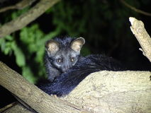 Palm civet  cat Royalty Free Stock Photo