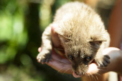 Palm civet Royalty Free Stock Images