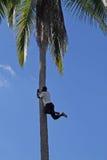 Palm climber Stock Image