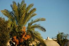 Palm with cluster dates. Tel-Aviv-Jaffa Stock Photo