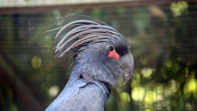 Palm Cockatoo Closeup Royalty Free Stock Images