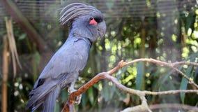 Palm Cockatoo Closeup Royalty Free Stock Image