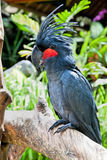 Palm Cockatoo Parrot in nature surrounding. (Probosciger aterrimus), Bali, Indonesia Stock Image