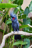 Palm Cockatoo Parrot in nature surrounding Stock Photo