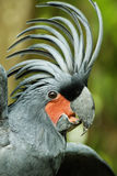 Palm Cockatoo. Parrot (Probosciger aterrimus) in nature surrounding, Bali, Indonesia Stock Photos