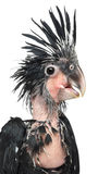 Palm Cockatoo, Probosciger aterrimus Stock Photo
