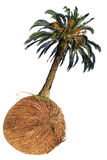Palm and coconut Royalty Free Stock Photography