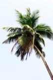 Palm. Coconut Palma against the blue sky stock photos