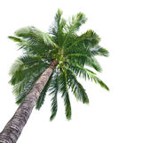 Palm Coconut Tree Royalty Free Stock Photo