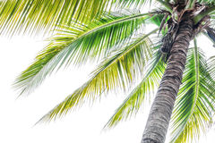 Palm coconut tree against sunlight on white background, tropical Stock Photos