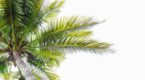 Palm coconut tree against sunlight on white background, tropical Stock Photo