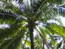Palm coconut tree, exotic sunny landscape with sky view. Green branch with leaves, blue sky with bright sun Royalty Free Stock Photography
