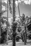 Palm and coconut tree at the garden in black white mode photo taken in Kebun Raya Bogor Indonesia Stock Photo