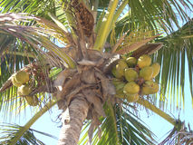 Palm and coconuts. Palm tree with coconuts Royalty Free Stock Photos