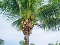 Palm with coconuts at sky background. Top of coconut palm with green fruits Royalty Free Stock Images