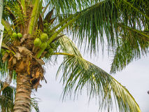 Palm with coconuts at sky background. Top of coconut palm with green fruits Royalty Free Stock Photos