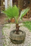palm in colonial garden sown limestone plateau surrounded by white stones stock photo