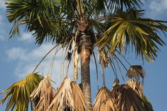 Palm contrast between living and dry leaves on sky background. Palm top contrast between living and dry leaves on sky background Royalty Free Stock Images