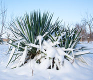 Palm covered with snow Stock Photo