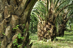Palm Crop Day Outdoor Farm Royalty Free Stock Photo