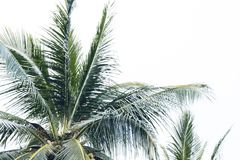 Palm crown with fluffy leaves on pale sky background. Palm tree silhouette on white clouds. Relaxing tropical island view. Green coco palm tree leaves royalty free stock images