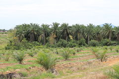 Palm cultivation Royalty Free Stock Image