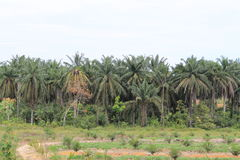 Palm cultivation Royalty Free Stock Photography